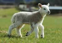 五条腿的小羊 农场的小明星